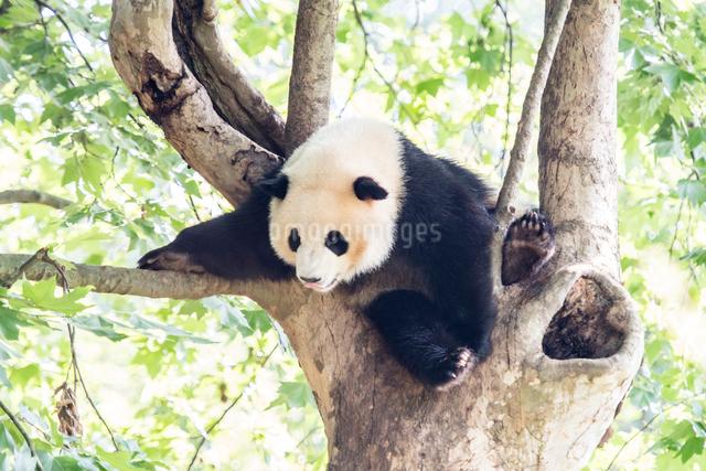 木に登る1頭のパンダの写真素材 [FYI01504064]