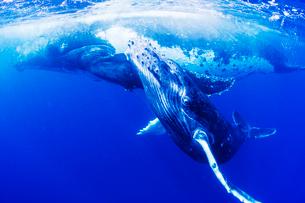 親子のザトウクジラの写真素材 [FYI01504066]