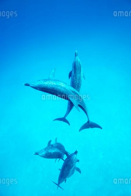 タイセイヨウマダライルカの群れの写真素材 [FYI01504092]