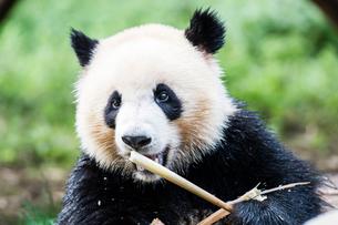 笹を食べる1頭のパンダの写真素材 [FYI01504118]