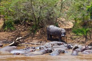 マサイマラのカバの写真素材 [FYI01504233]