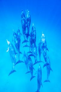 タイセイヨウマダライルカの群れの写真素材 [FYI01504234]
