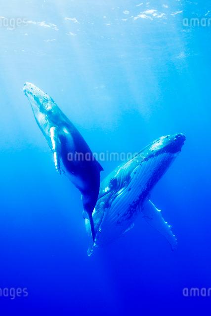 青い海を泳ぐザトウクジラの親子の写真素材 [FYI01504236]