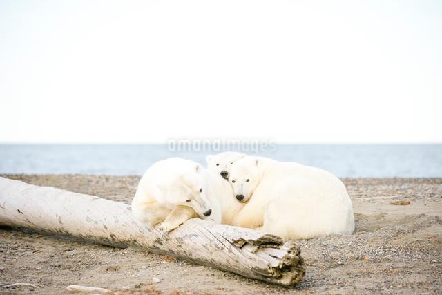 シロクマの親子の写真素材 [FYI01504237]