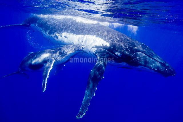 青い海を泳ぐザトウクジラの親子の写真素材 [FYI01504273]