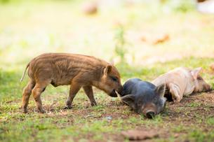 3頭の子豚の写真素材 [FYI01504283]