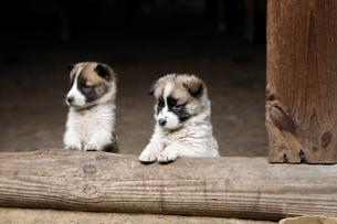 2匹の子犬の写真素材 [FYI01504284]