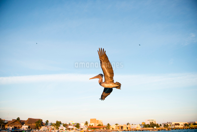 飛び立つカリフォルニアブラウンペリカンの写真素材 [FYI01504319]