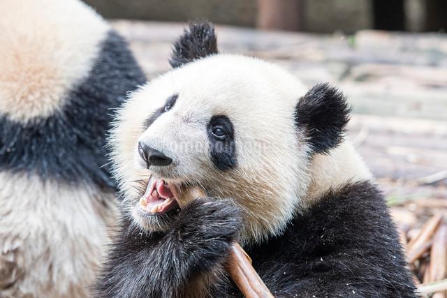 笹を食べる1頭のパンダの写真素材 [FYI01504324]