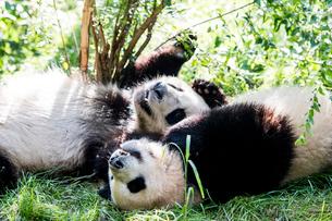 2頭のパンダの写真素材 [FYI01504326]