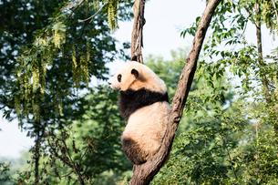 木に登る1頭のパンダの写真素材 [FYI01504345]