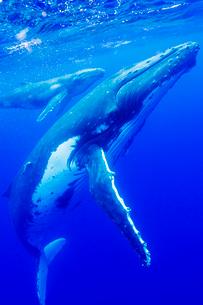青い海を泳ぐザトウクジラの親子の写真素材 [FYI01504362]