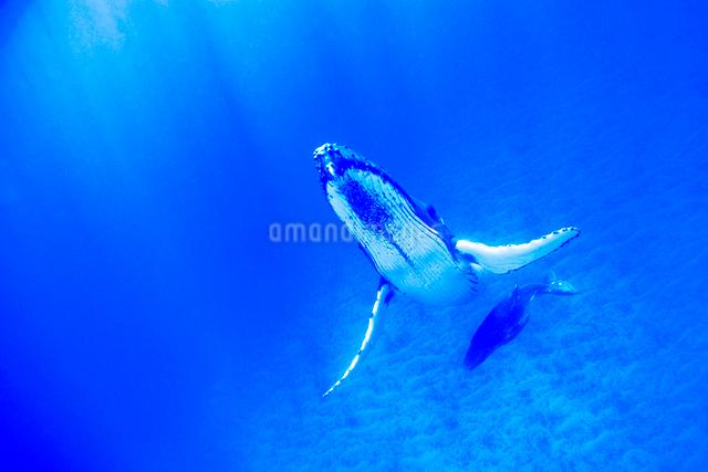 青い海のザトウクジラの親子の写真素材 [FYI01504388]