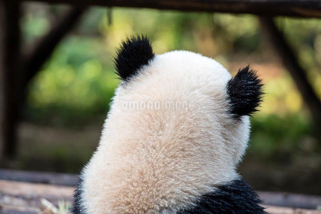 パンダの後ろ姿の写真素材 [FYI01504401]
