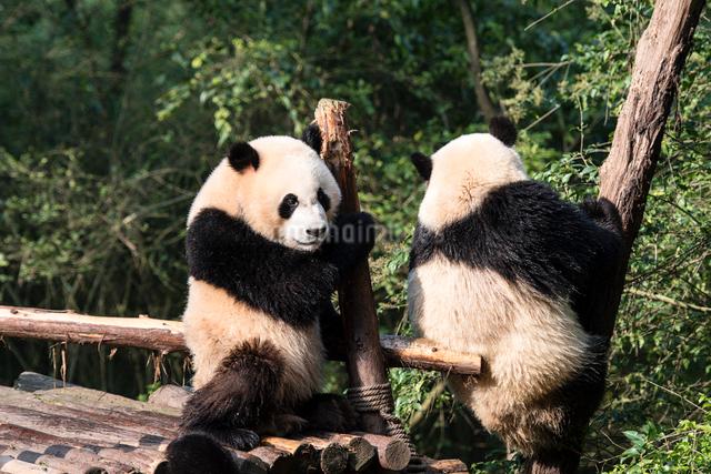 2頭のパンダの写真素材 [FYI01504412]