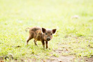 1頭の子豚の写真素材 [FYI01504431]