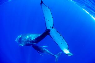 ザトウクジラの親子の写真素材 [FYI01504437]