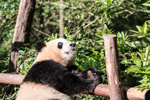 1頭のパンダの写真素材 [FYI01504442]