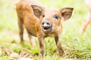 1頭の子豚の写真素材 [FYI01504447]