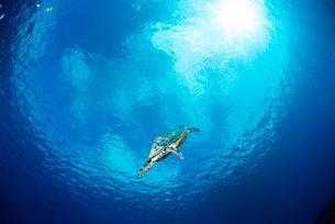 水中から見上げた青空とカメの写真素材 [FYI01504461]