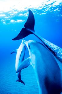 泳ぐタイセイヨウマダライルカの写真素材 [FYI01504462]