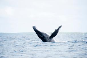 ブリーチングするザトウクジラの写真素材 [FYI01504465]
