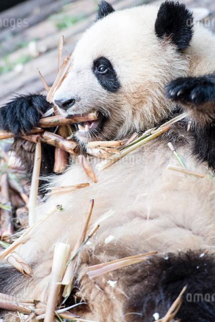 笹を食べる1頭のパンダの写真素材 [FYI01504500]