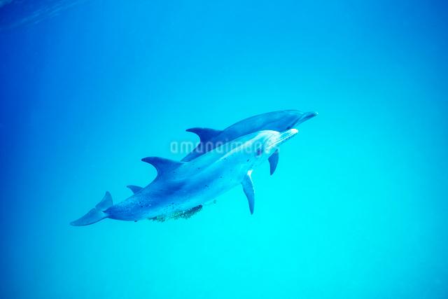 泳ぐタイセイヨウマダライルカの写真素材 [FYI01504503]