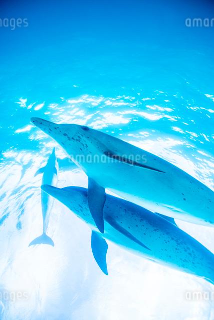 泳ぐタイセイヨウマダライルカの写真素材 [FYI01504516]