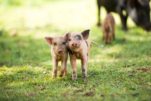 子豚の写真素材 [FYI01504520]
