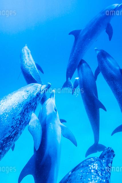タイセイヨウマダライルカの群れの写真素材 [FYI01504530]