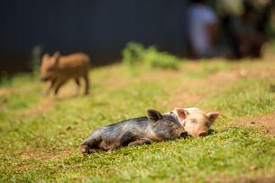 昼寝中の子豚の写真素材 [FYI01504546]