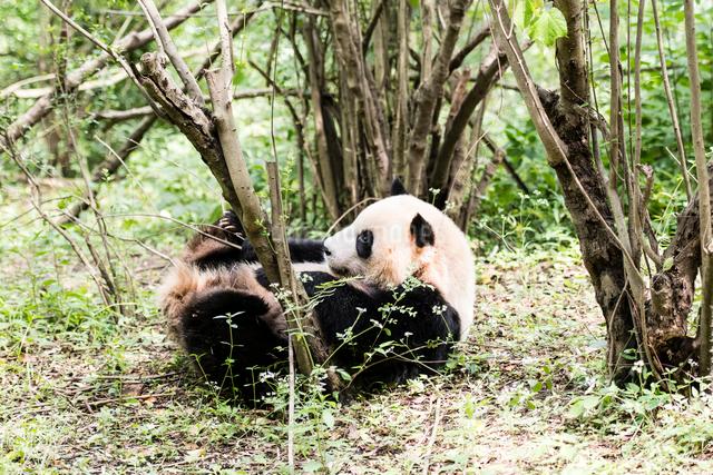 1頭のパンダの写真素材 [FYI01504550]