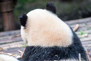 笹を食べる1頭のパンダの後ろ姿の写真素材 [FYI01504558]