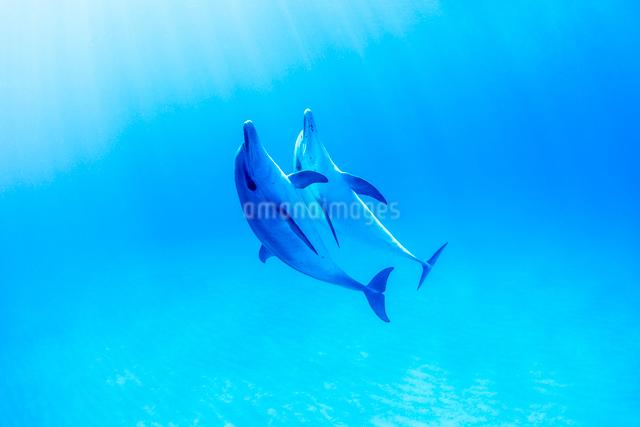 白い砂浜と2頭のタイセイヨウマダライルカの写真素材 [FYI01504559]