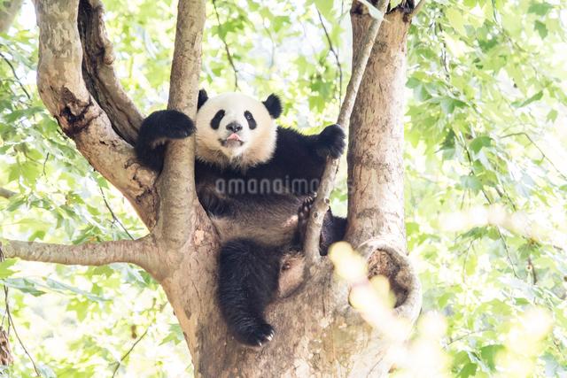 木に登る1頭のパンダの写真素材 [FYI01504564]