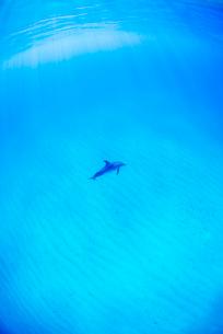 白い砂浜と1頭のタイセイヨウマダライルカの写真素材 [FYI01504566]