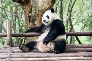 1頭のパンダの写真素材 [FYI01504568]