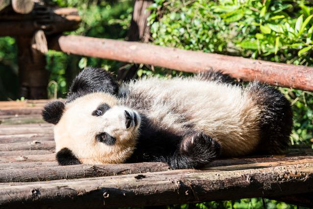 1頭のパンダの写真素材 [FYI01504570]