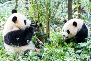 2頭のパンダの写真素材 [FYI01504597]
