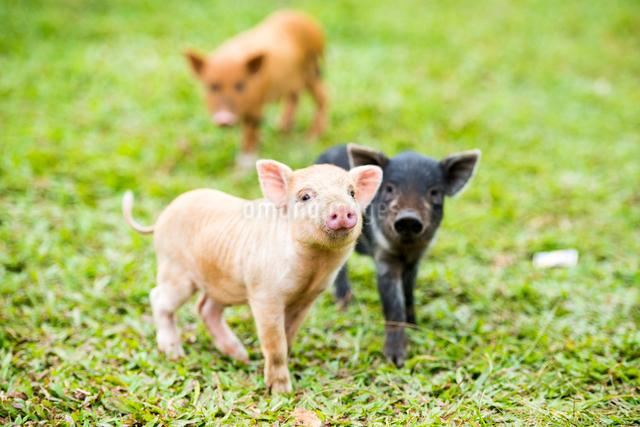 3頭の子豚の写真素材 [FYI01504606]