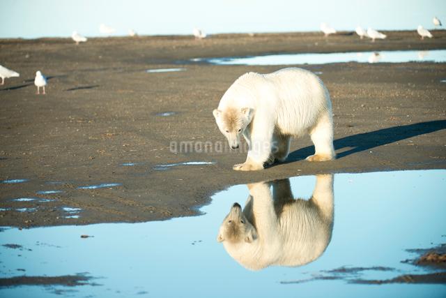 水面に映るシロクマの写真素材 [FYI01504633]