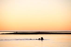 夕暮れの北極海を泳ぐシロクマの写真素材 [FYI01504641]