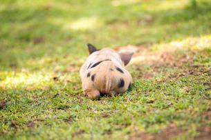 子豚のお尻の写真素材 [FYI01504648]