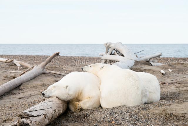 昼寝するシロクマの親子の写真素材 [FYI01504657]