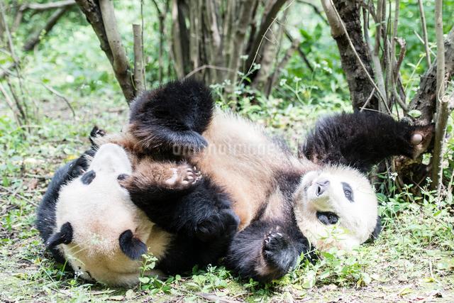 2頭のパンダの写真素材 [FYI01504667]