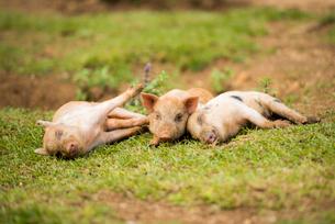 3頭の子豚の写真素材 [FYI01504716]