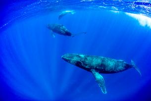 3頭のザトウクジラの写真素材 [FYI01504742]