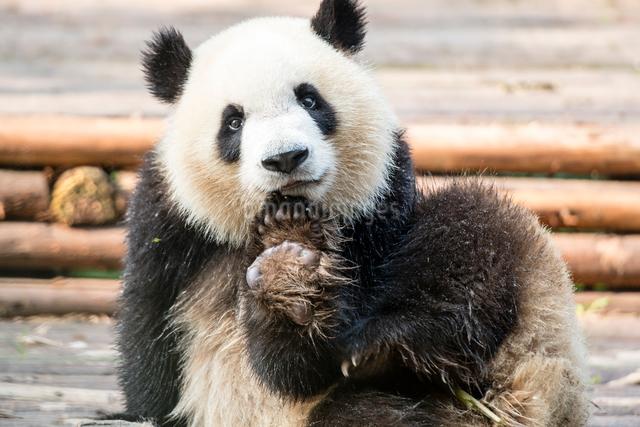 1頭のパンダの写真素材 [FYI01504757]