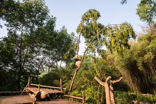 木に登る1頭のパンダの写真素材 [FYI01504779]